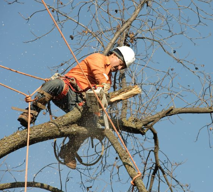 this image shows carlsbad pro tree service tree cutting