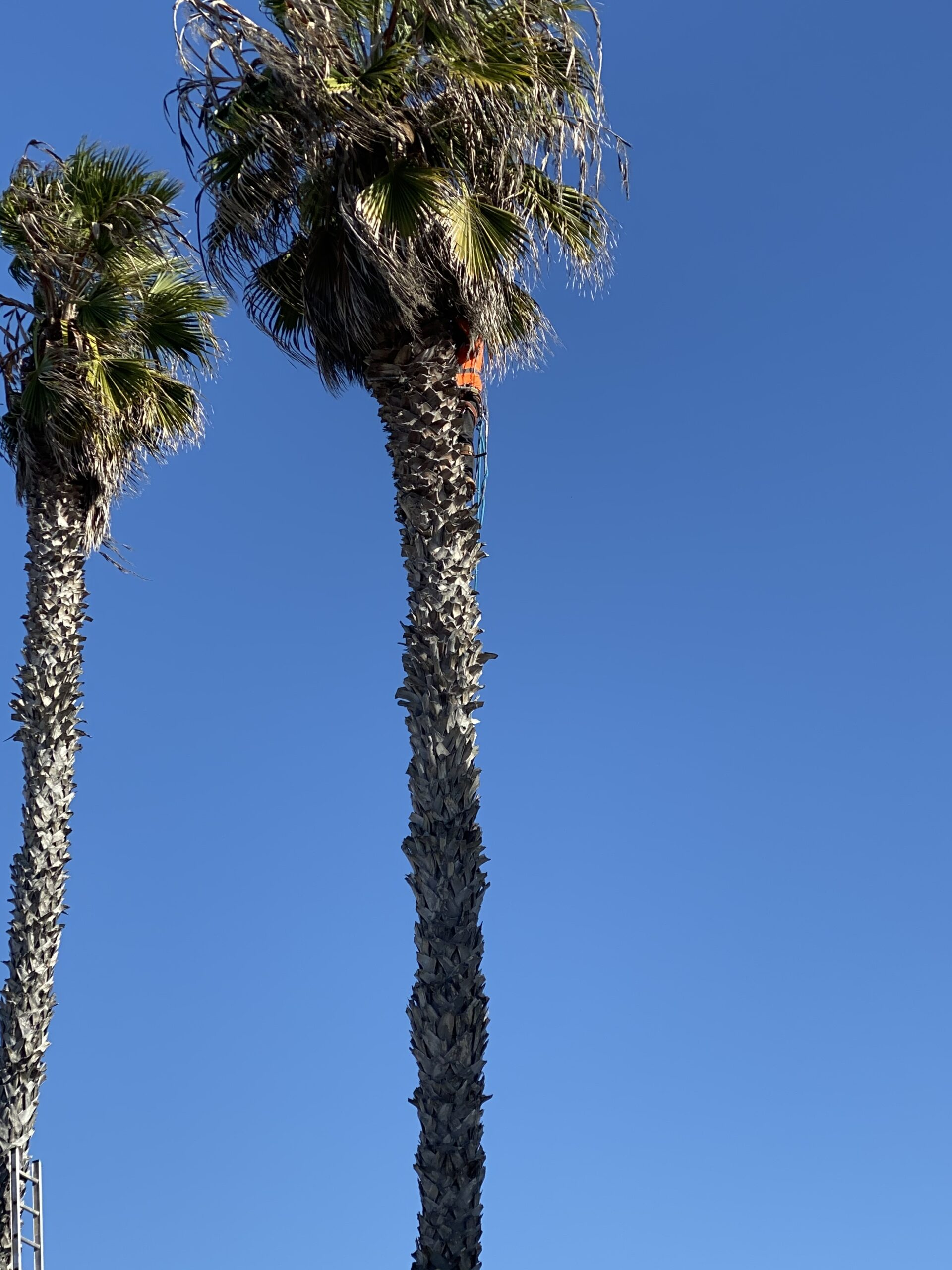 this is an image of type of trees in Carlsbad