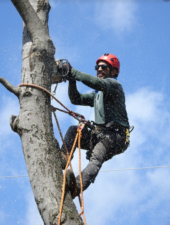 this is an image of tree removal in Carlsbad
